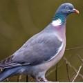 Wood pigeon decoys